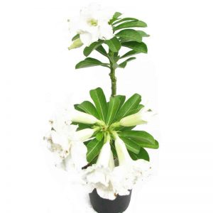 Adenium (White) Plant-1