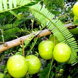 Amla ( Big-Fruit, Grown-through-seeds ) Plant-2