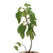Anjeer, Common flg Plant - Buy Anjeer Plant Online