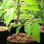 Annona-Squamosa, Sita-Phal-(Grafted) Plant-1