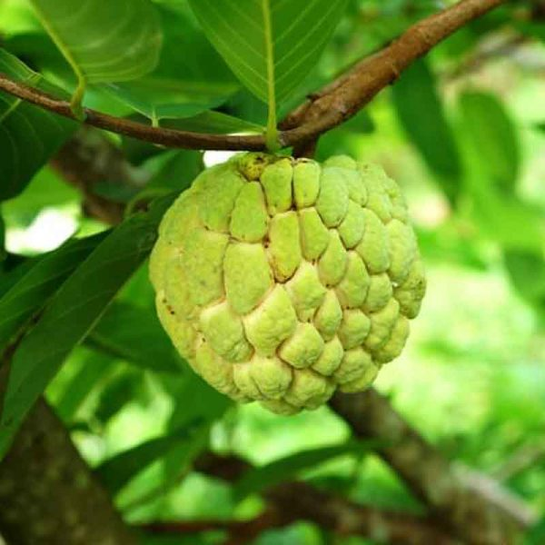 Annona-Squamosa,-Sita-Phal-(Grafted)–Plant-2