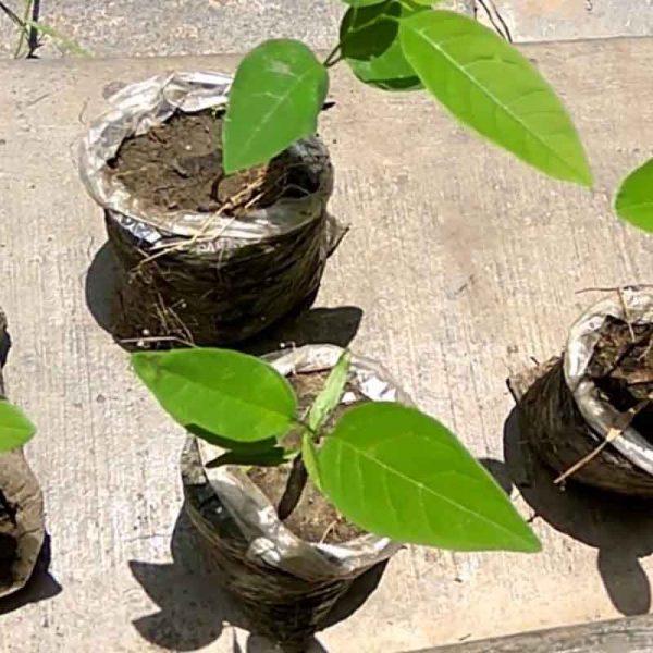 Annona-Squamosa,-Sita-Phal-(-Grown-through-seeds-)—Plant-1