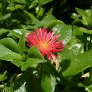Aptenia,-Heartleaf-Ice-Plant-1