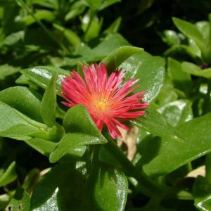 Aptenia, Heartleaf-Ice-Plant-1