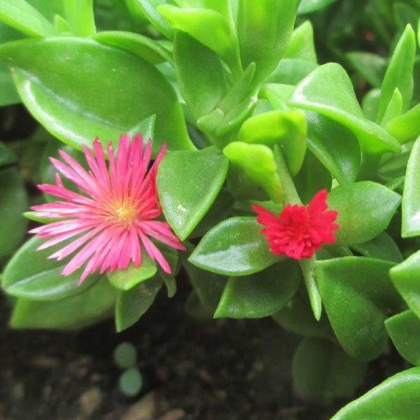 Aptenia,-Heartleaf-Ice-Plant-2