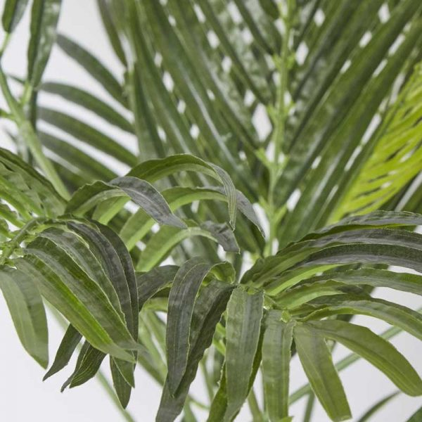 Areca-Palm-3