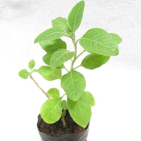 Ashwagandha—Plant-1