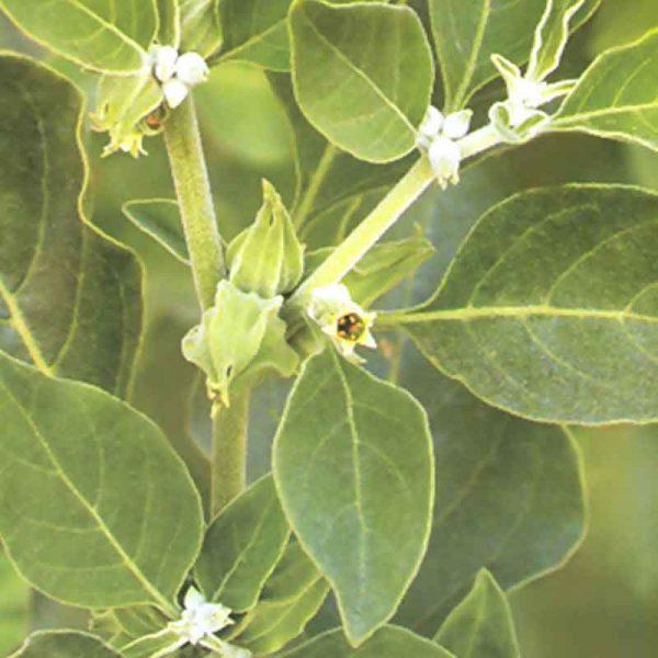 Ashwagandha—Plant-2