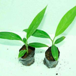 Banana-G9, Kela Plant-1