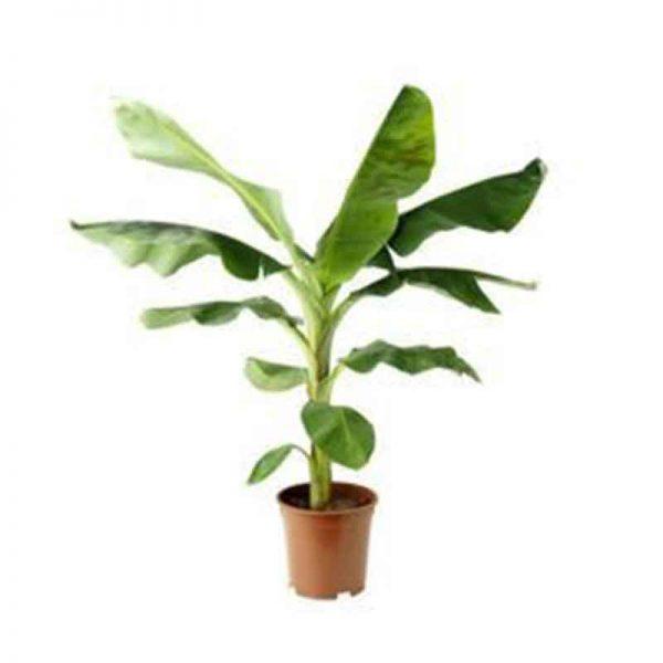 Banana—G9,-Kela—Plant-2