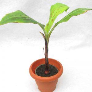 Banana-G9, Kela Plant-3