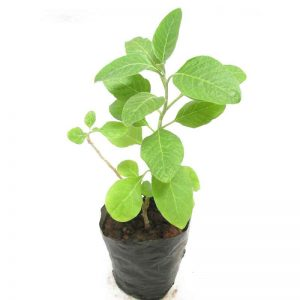 Bel-Tree, Bilva-Patra, Bel-Patra ( Grown-through-seeds ) Plant-3