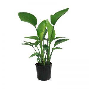 Bird-of-Paradise Plant-1