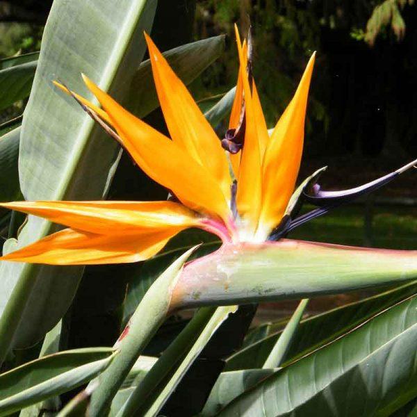 Bird-of-Paradise—Plant-2