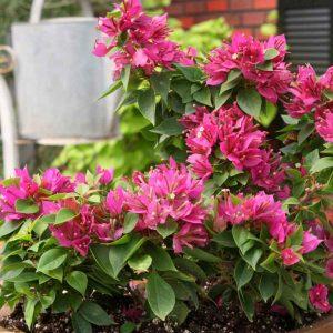 Bougainvillea-Dwarf-(Pink) Plant-1