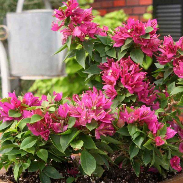 Bougainvillea-Dwarf-(Pink)–Plant-1
