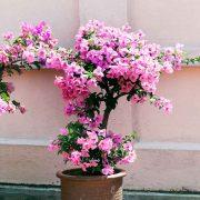 Bougainvillea-Dwarf-(Pink) Plant-2