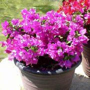 Bougainvillea-Dwarf-(Pink)–Plant-3