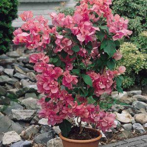 Bougainvillea-(Pink) Plant-1