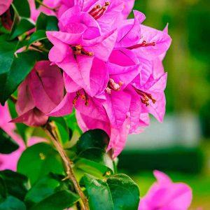 Bougainvillea-(Pink) Plant-2