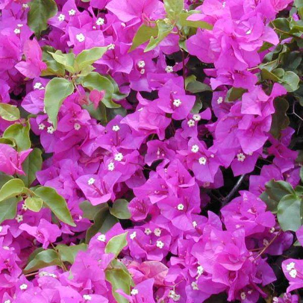 Bougainvillea-(Pink)—Plant-3