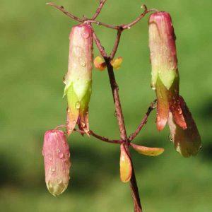 Bryophyllum, Panfuti Plant-1