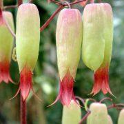 Bryophyllum,-Panfuti—Plant-3