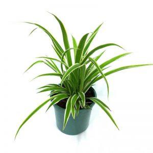 Chlorophytum, Spider-Plant (Dark-Green) Plant-1