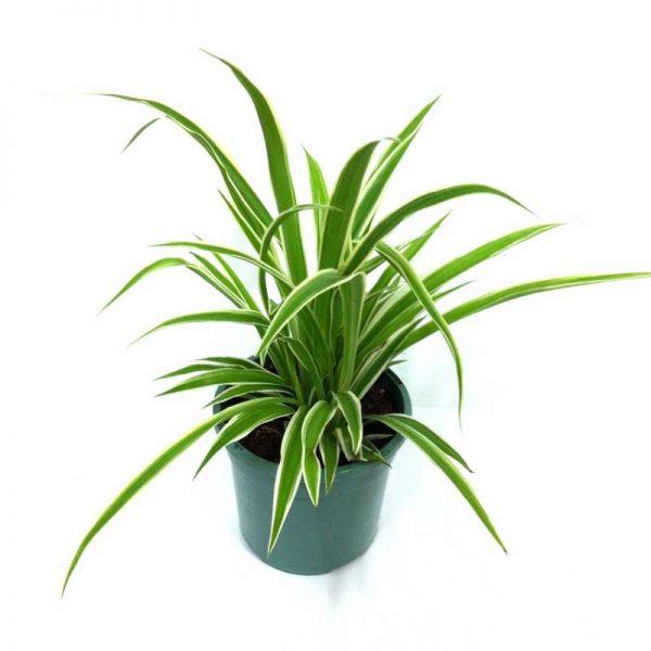 Chlorophytum,-Spider-Plant-(Dark-Green)—Plant-1
