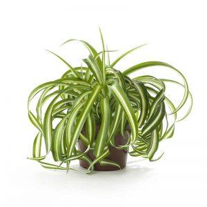 Chlorophytum, Spider-Plant (Dark-Green) Plant-2