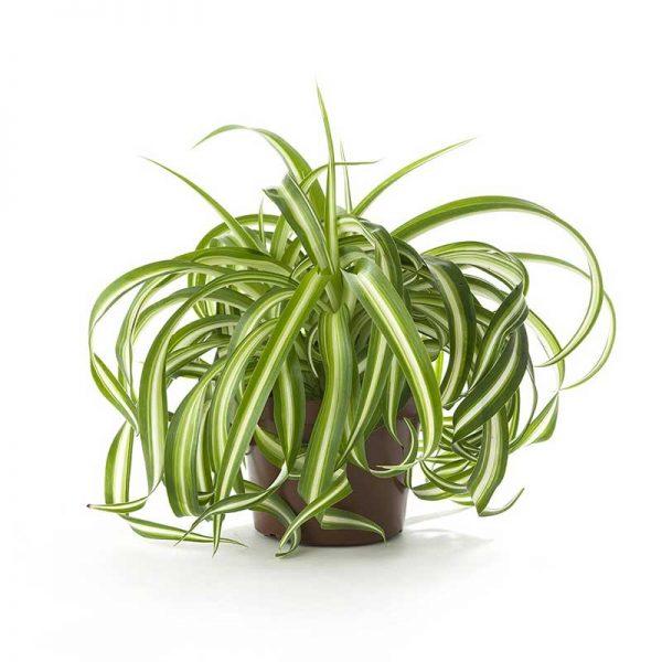 Chlorophytum,-Spider-Plant-(Dark-Green)—Plant-2
