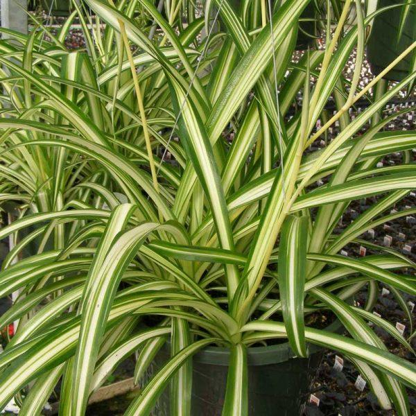Chlorophytum,-Spider-Plant-(Dark-Green)—Plant-3