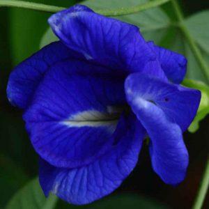Clitoria-Ternatea, Gokarna (Blue) Plant-1