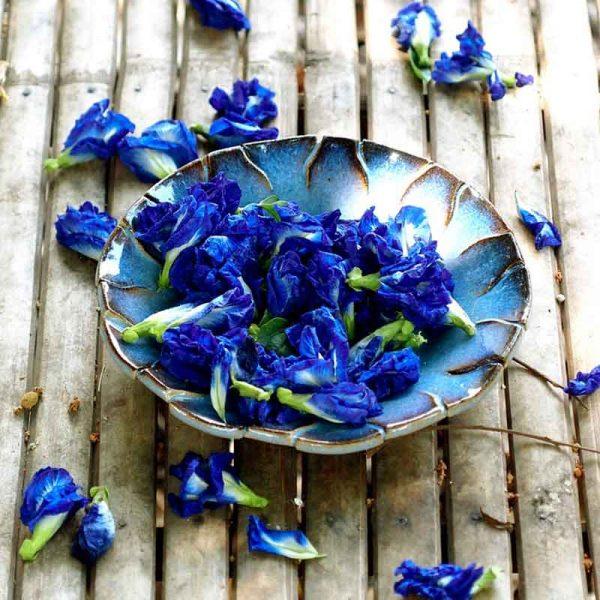 Clitoria-Ternatea,-Gokarna-(Blue)—Plant-2