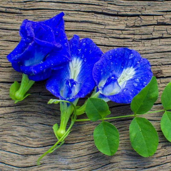 Clitoria-Ternatea,-Gokarna-(Blue)—Plant-3
