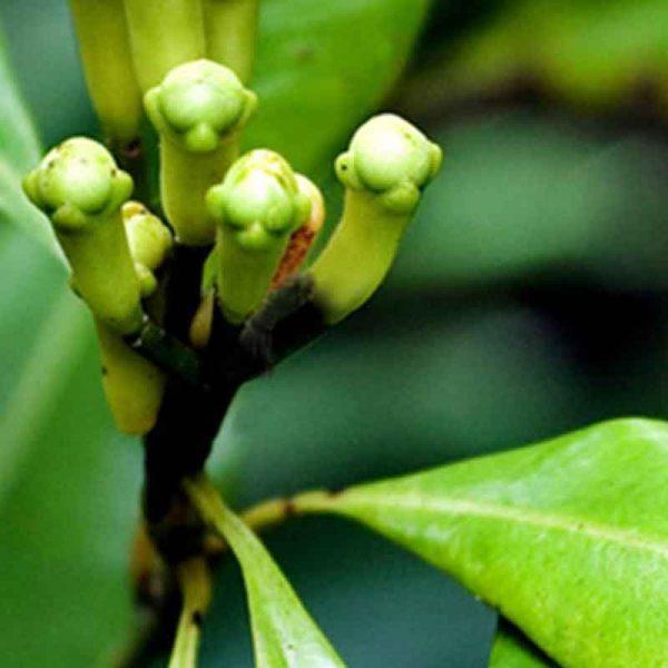 Cloves–Plant-1