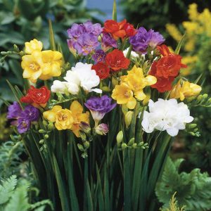 Fluorescent-Freesia-1
