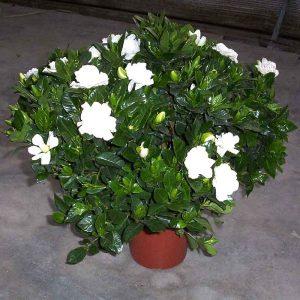 Gardenia-Dwarf, Ananta-Dwarf Plant-1