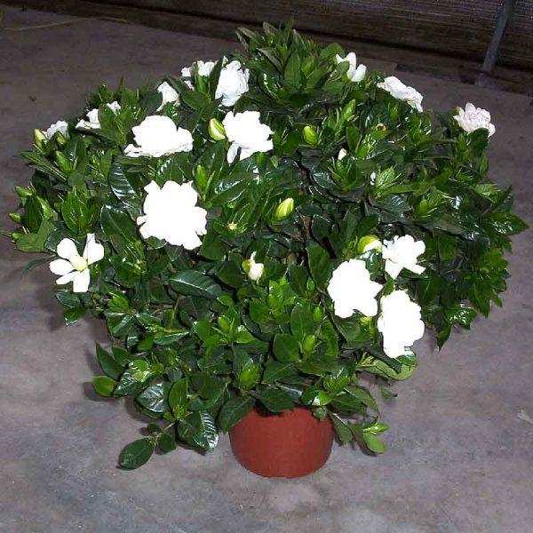 Gardenia-Dwarf,-Ananta-Dwarf—Plant-1
