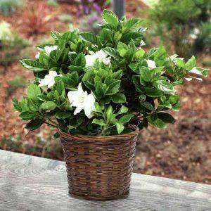 Gardenia-Dwarf,Ananta-Dwarf Plant-2