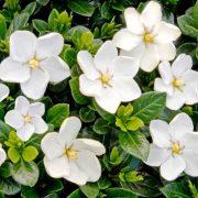 Gardenia-Dwarf,-Ananta-Dwarf—Plant-3