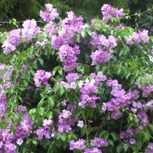 Garlic-Creeper, Mansoa-Alliacea Plant-3
