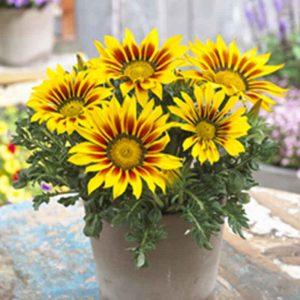 Gazania (YellowOrange) Plant-1