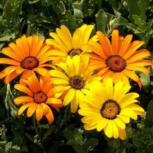 Gazania (YellowOrange) Plant-2