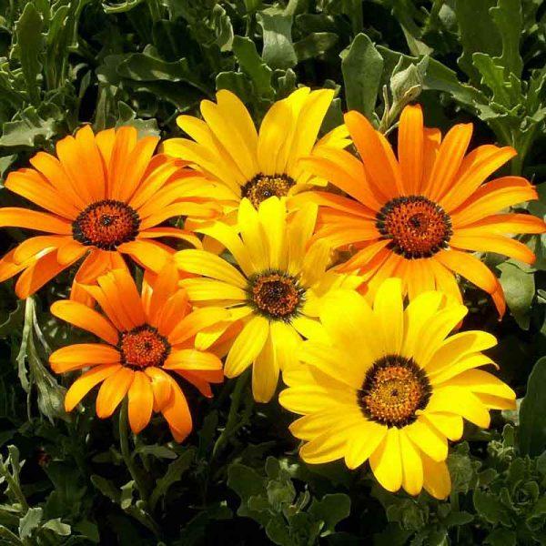 Gazania-(YellowOrange)–Plant-2