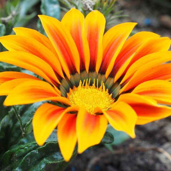 Gazania-(YellowOrange)–Plant-3