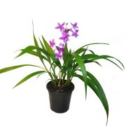 Ground-Orchid,-Spathoglottis-Plicata-(Purple)—Plant-1