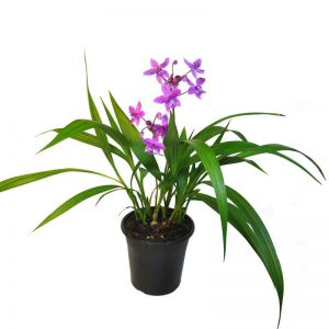 Ground-Orchid, Spathoglottis-Plicata (Purple) Plant-1