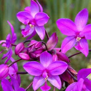 Ground-Orchid,Spathoglottis-Plicata (Purple) Plant-2