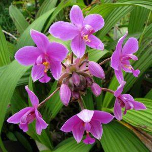 Ground-Orchid, Spathoglottis-Plicata (Purple) Plant-3